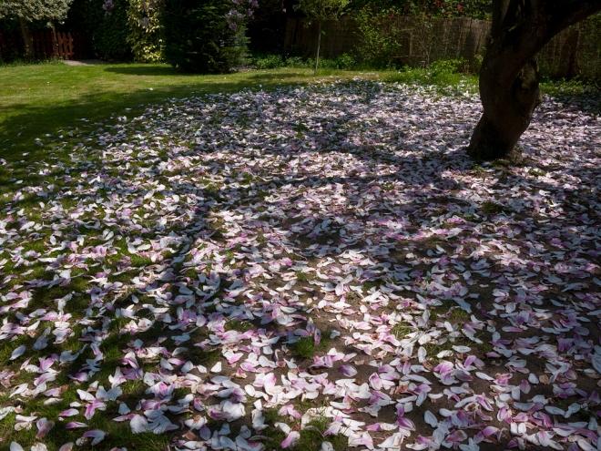 magnolias avenue bois du héron 5.2013 © cedric muscat