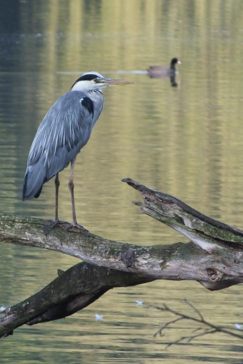 l_observateur tranquille des eaux du lac 9.2012 © benoit nihoul (3)