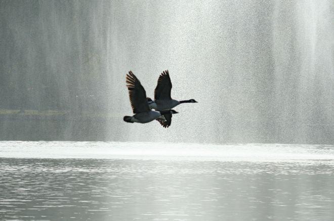 bernaches du canada au lac de genval © andré riche