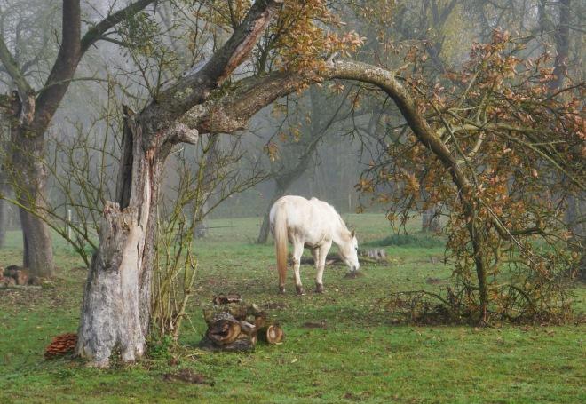 cheval à l'enclos (plagniau) 11.2012 © robert vanloo
