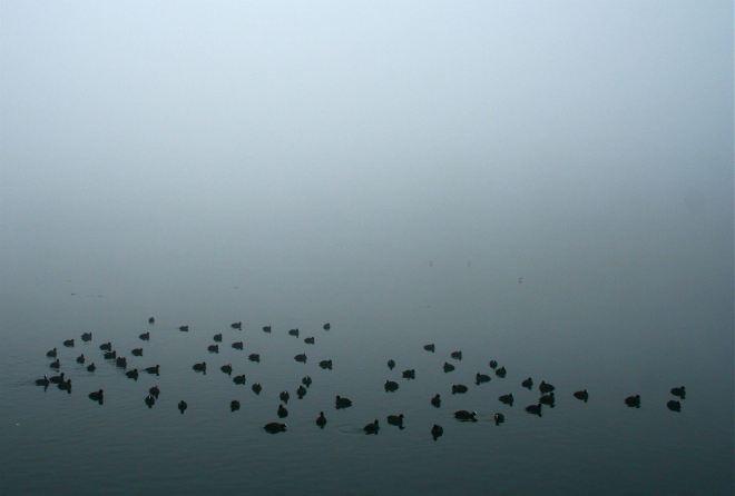 foulques sur le lac de genval © andré riche