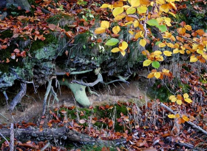 racines (bois de rixensart) 10.2012 © robert vanloo