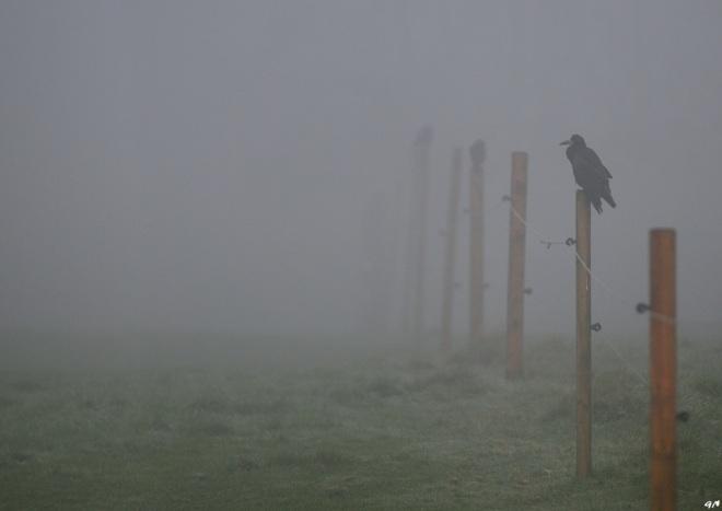 corbeaux freux 11.2013 © gilbert nauwelaers