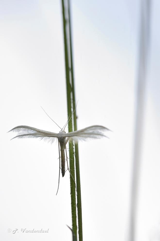 Papilon: Le ptérophore blanc   (Pterophorus pentadactilus)