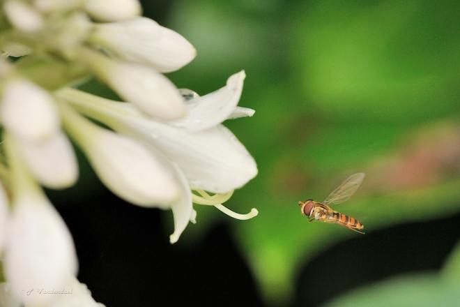 Syrphe bâton sur fleurs d'Hosta 6.2014 © Patrick Vandendael - 2