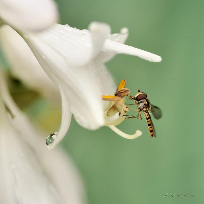 Syrphe bâton sur fleurs d'Hosta 6.2014 © Patrick Vandendael - 1