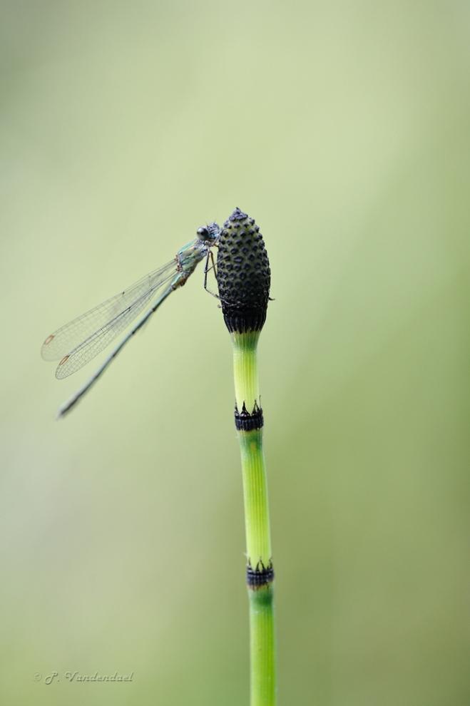 Leste vert (Lestes viridis) sur prêle (Equisetum)
