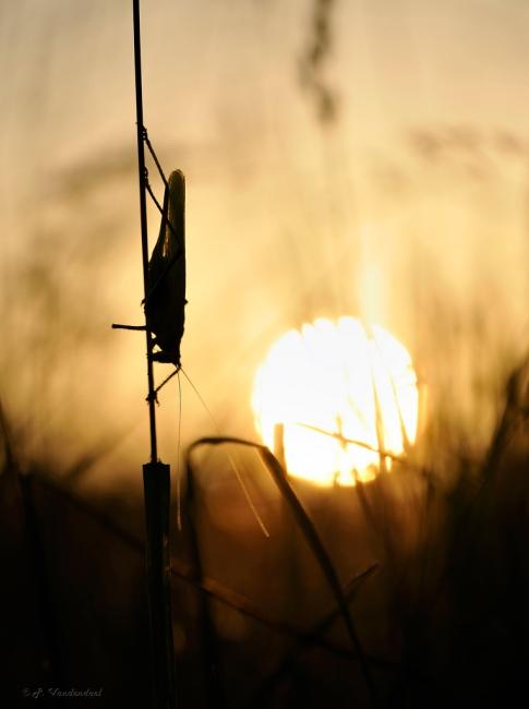 Grande Sauterelle verte 7.2013 © Patrick Vandendael