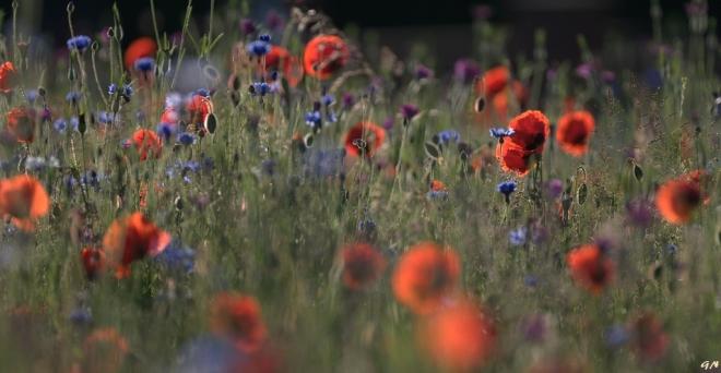 Le Poteau prairie fleurie 5.2014 © Gilbert Nauwelaers
