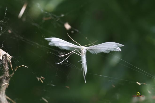 Ptérophore blanc Rosières 6.2014 © Bruno Marchal - 3