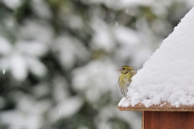Tarin des aulnes (femelle) sous la neige (300mm X 1.4)