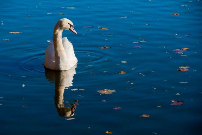 Cygne (lac de Genval) 10.2012 © Denisa Vlaicu corrected-001