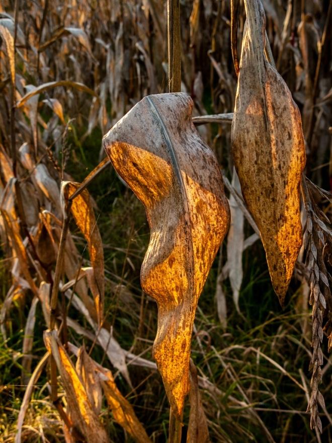 1125 champ de maïs vallée de la lasne (carpu) 11.2013 © cedric muscat-002_1024