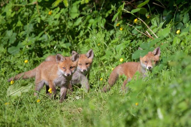 613 renard roux vallée de la lasne 5.2015 © bruno marchal