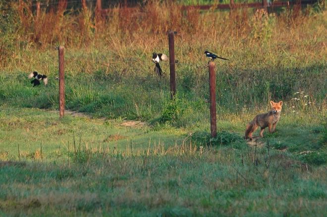 le renard et les pies dans la vallée de la lasne © gilbert nauwelaers