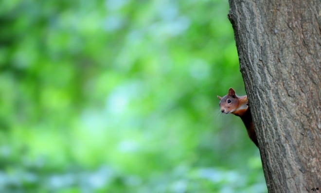 813 ecureuil vallée de la lasne 6.2015 © gilbert nauwelaers3
