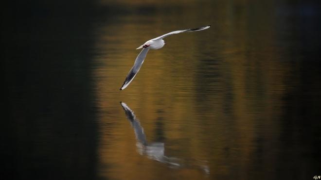 1122 mouette lac de genval 10.2015 © gilbert nauwelaers4