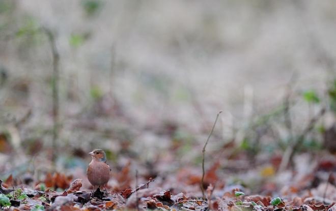 Pinson des arbres (Vallée de la Lasne) 1.2015 © Gilbert Nauwelaers