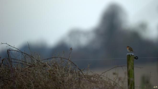 Robin (Vallée de la Lasne) 1.2015 © Gilbert Nauwelaers