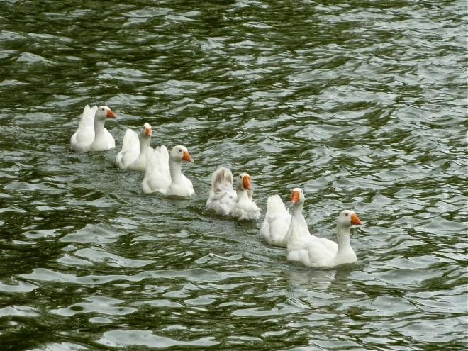 oies (lac de genval) 6.2013 © ges terzo