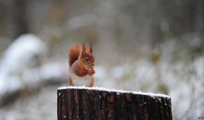 309 ecureuil petit déjeuner sur neige 3.2016 © gilbert nauwelaers