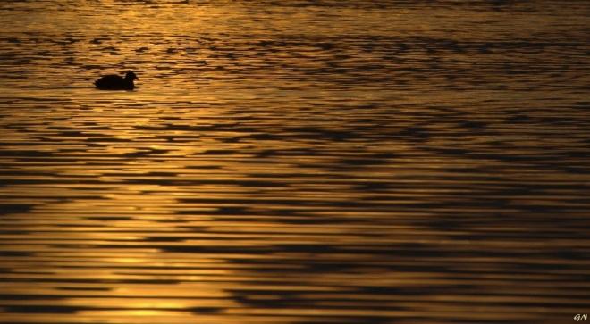 316 foulque macroule lac de genval 2.2016 © gilbert nauwelaers 0