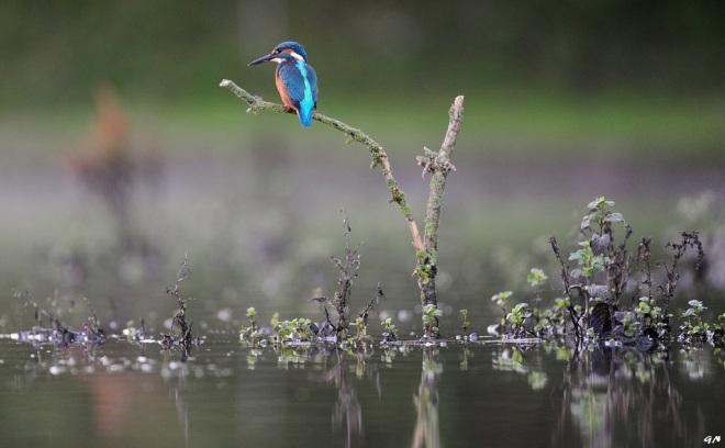 714 martin-pêcheur 7.2016 © gilbert nauwelaers