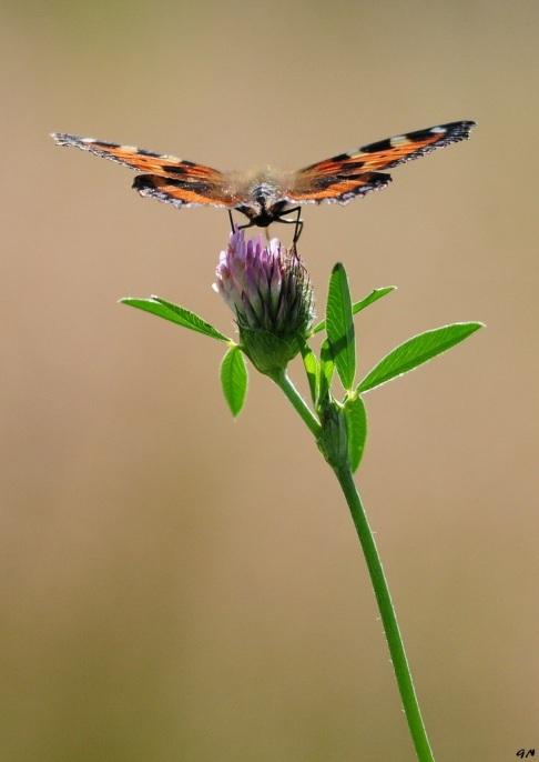 727 papillon vallée de la lasne 7.2016 © gilbert nauwelaers