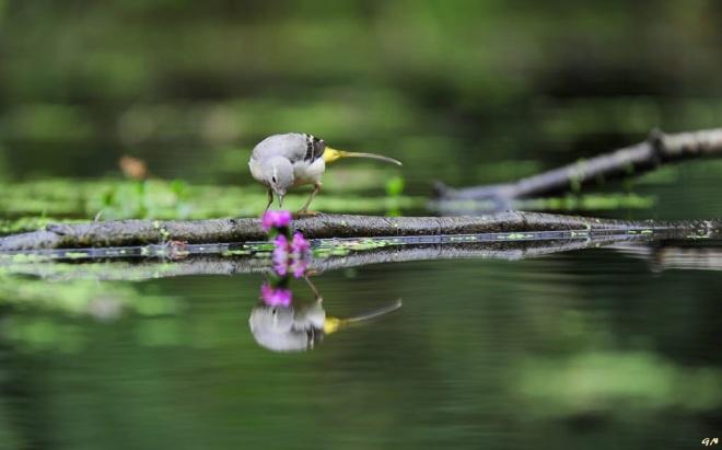 731 bergeronnette a la recherche de moucherons sur une fleur de salicaire 7.2016 © gilbert nauwelaers