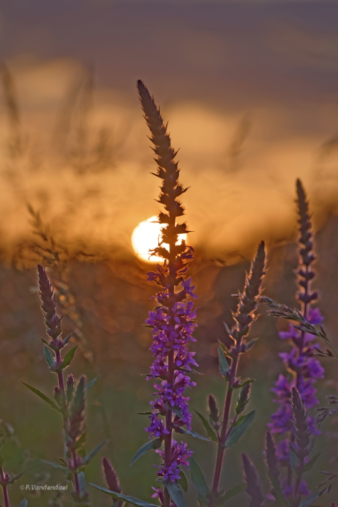 624 lever de soleil carpu 6.2016 © patrick vandendael2