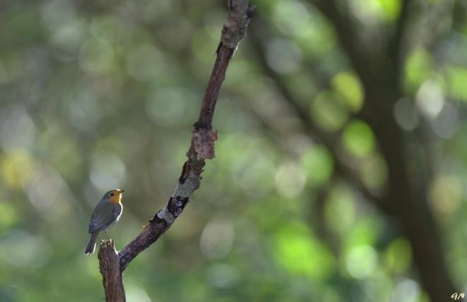 Robin 10.2014 © Gilbert Nauwelaers