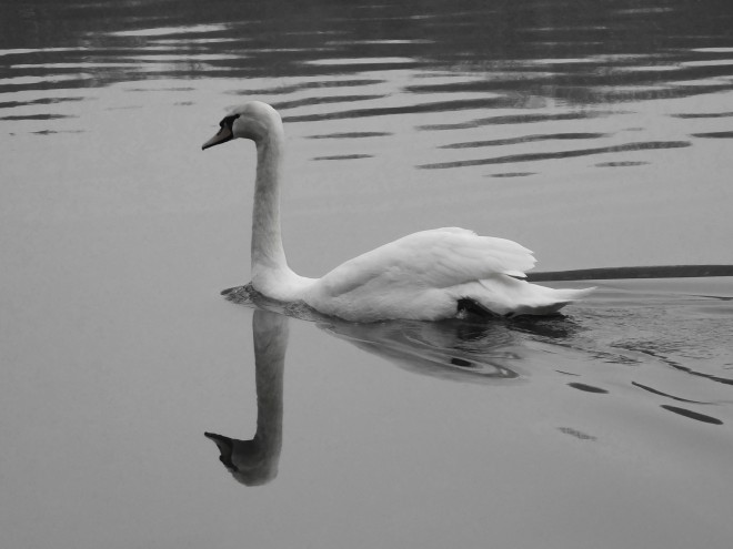 108 cygne lac de genval 12.2016 © guy dumay