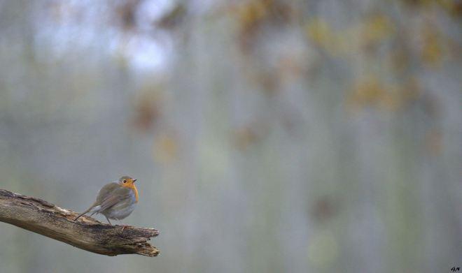 Rouge-gorge Vallée de la Lasne Carpu 12.2014 © Gilbert Nauwelaers - 1