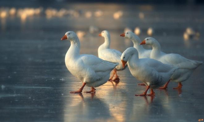 127 lac de genval oiseaux 1.2017 © gilbert nauwelaers 1