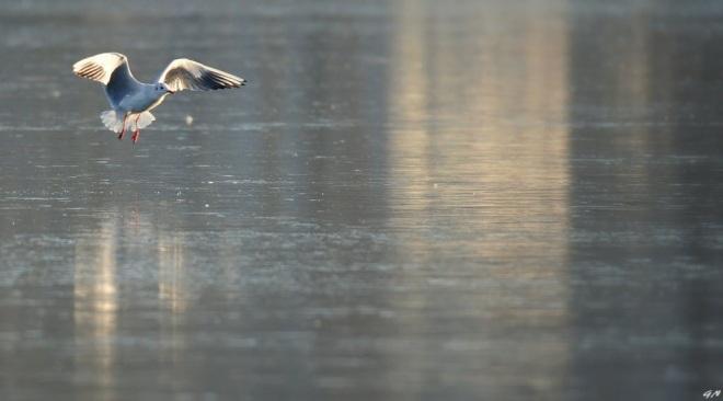207 lac de genval oiseaux 1.2017 © gilbert nauwelaers 2