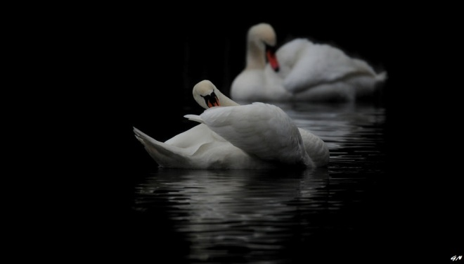 215 cygnes lac de genval 2.2017 © gilbert nauwelaers