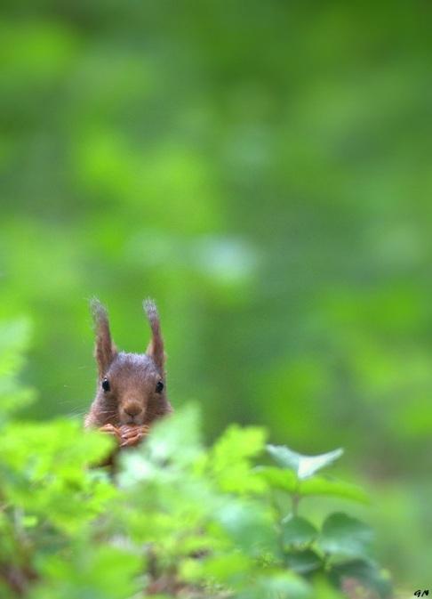 516 ecureuil 5.2015 © gilbert nauwelaers