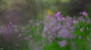 523 Prairie du Carpu floraison de la Lychnis Fleur de Coucou 5.2015 © Gilbert Nauwelaers1.jpg