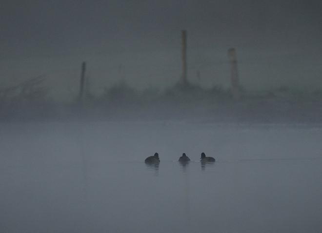 Milouins dans la brume au Carpu 9.2012 © Gilbert Nauwelaers
