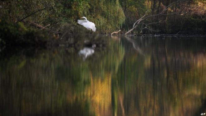 1103 Grande Aigrette 10.2017 © Gilbert Nauwelaers