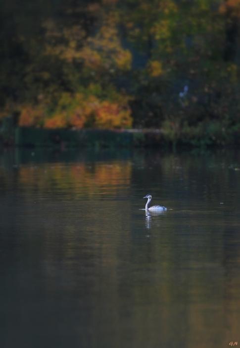 Grèbe au Lac de Genval 11.2014 © Gilbert Nauwelaers - 5