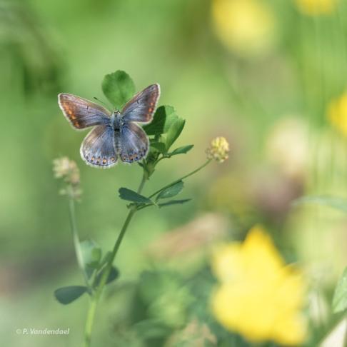 Azuré commun femelle 7.2017 © Patrick Vandendael