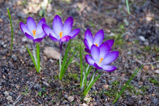 rue du plagniau 3.2011 (le printemps ouvre ses yeux) © denisa voicu