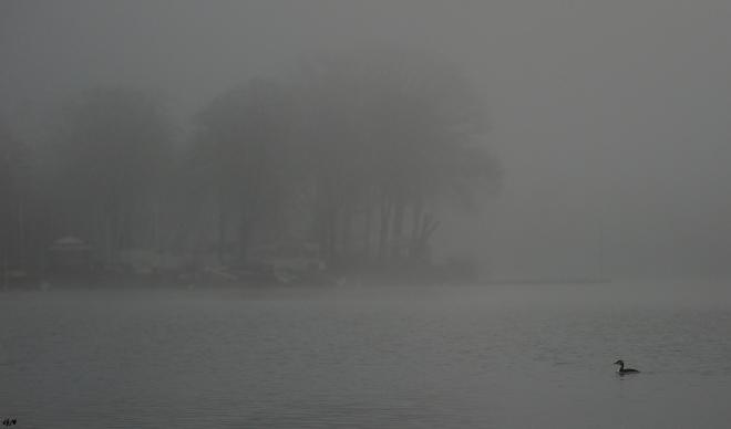 Grèbe huppé Lac de Genval 2.2015 © Gilbert Nauwelaers - 2