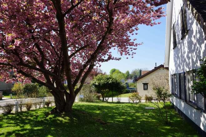Cerisier du Japon avenue du Québec 8 Larremans 4.2019 © Eric de Séjournet 23