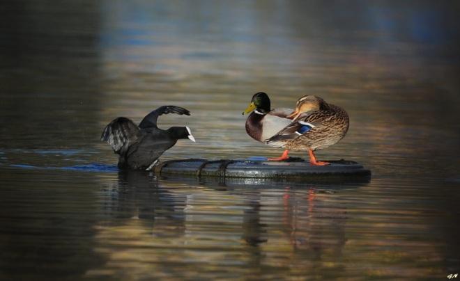 Lac de Genval 3.2017 © Gilbert Nauwelaers 2