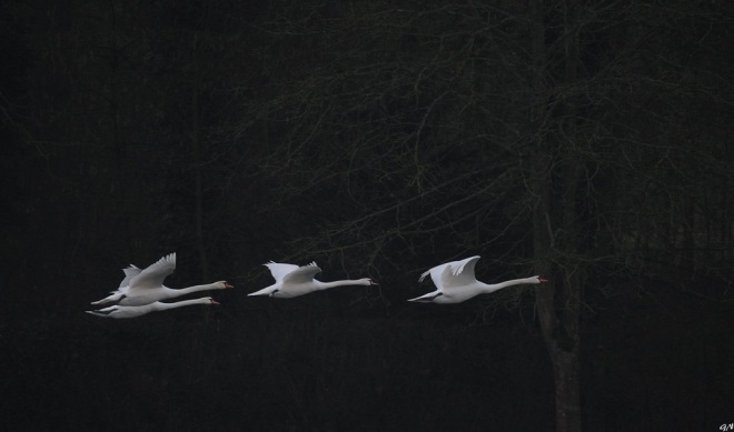 Cygnes lac de Genval 1.2020 © Gilbert Nauwelaers