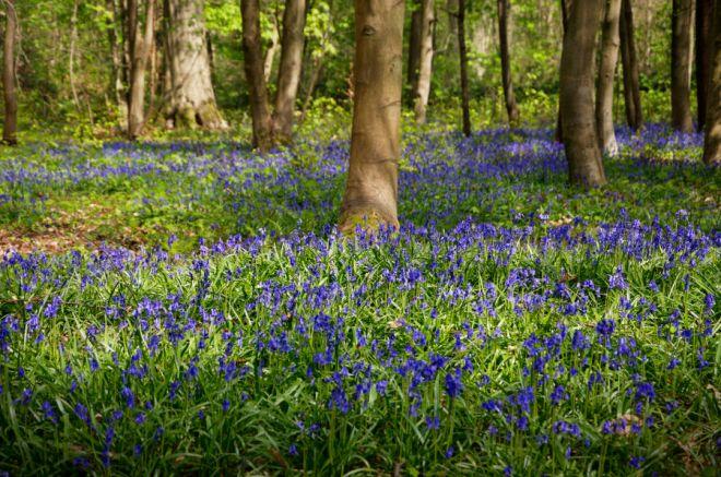 430 Bois de Rixensart jacinthe des bois 4.2020 © Jacques Kevers